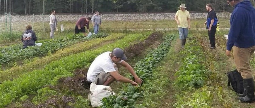 Students harvesting vegetables